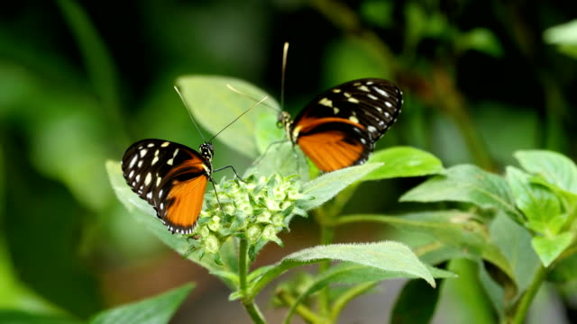 heliconius erato, postman butterfly, la paz waterfall gardens, costa rica - two animals stock videos and b-roll footage