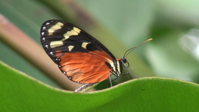 heliconius hecale - lateral pull down weights stock videos & royalty-free footage