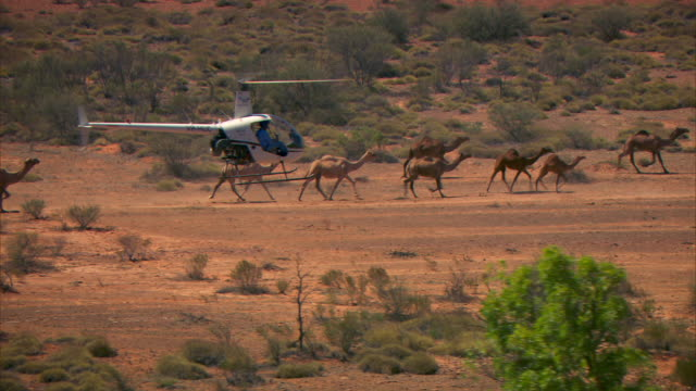 a helicopter herds wild camels in the northern territory outback. - helicopter stock videos & royalty-free footage