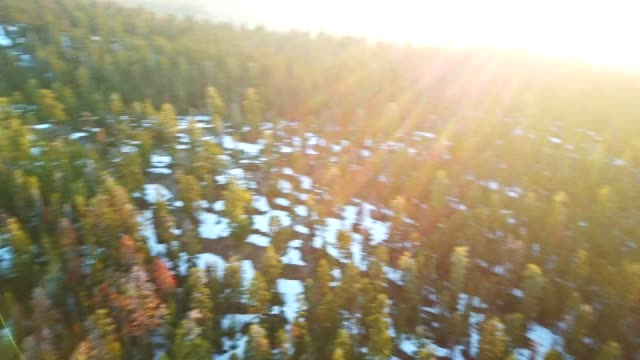 4K helicopter view of the pine forest