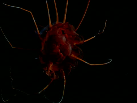 Helmet Jellyfish (Periphylla periphylla rotates), Cystisoma species swims up through darkness, Gulf of Mexico