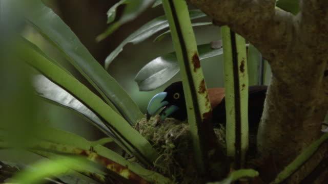 Helmet vanga (Euryceros prevostii) builds nest in forest, Madagascar