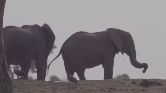 helmeted guineafowl and elephants / africa - symbiose stock-videos und b-roll-filmmaterial