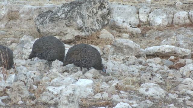 stockvideo's en b-roll-footage met helmeted guineafowl (numida meleagris), etosha national park, namibia - pikken