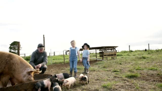 helping out around the farm - pig stock videos and b-roll footage
