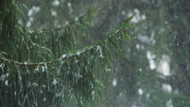 hemlock tree branch and falling snow in slow motion in the evening. - differential focus点の映像素材/bロール