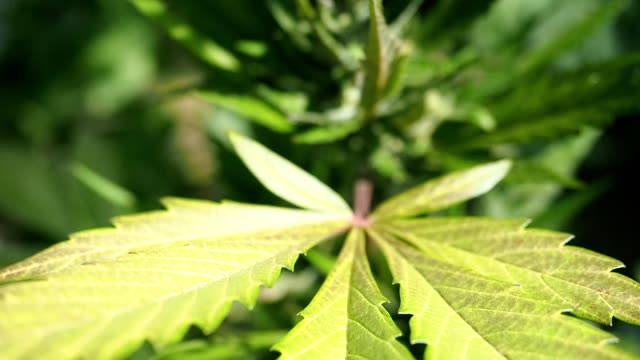 Chanvre (cannabis) bourgeon - fleurs de marijuana en HD