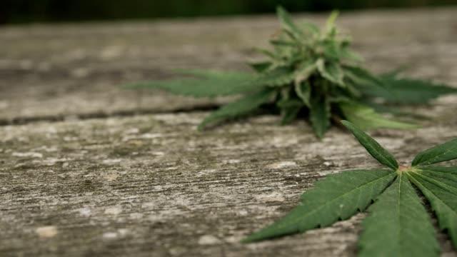 hemp (cannabis) bud - ripe flower of marijuana on the table - cannabis sativa stock videos and b-roll footage