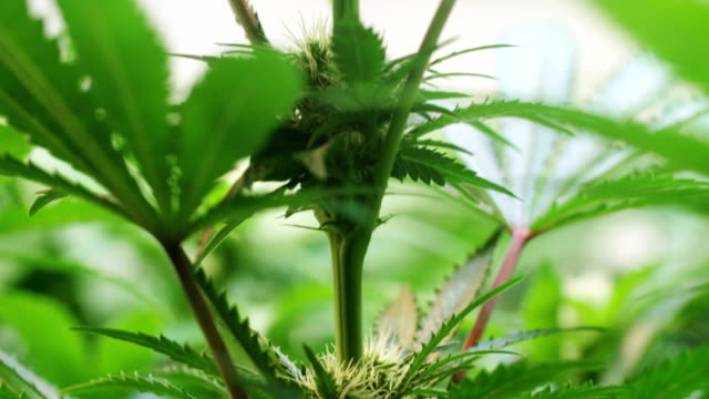 hemp growing indoors slow motion - cannabis sativa stock videos and b-roll footage