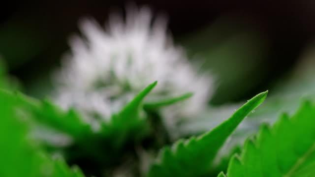 vídeos de stock, filmes e b-roll de hemp growing indoors - cannabis sativa