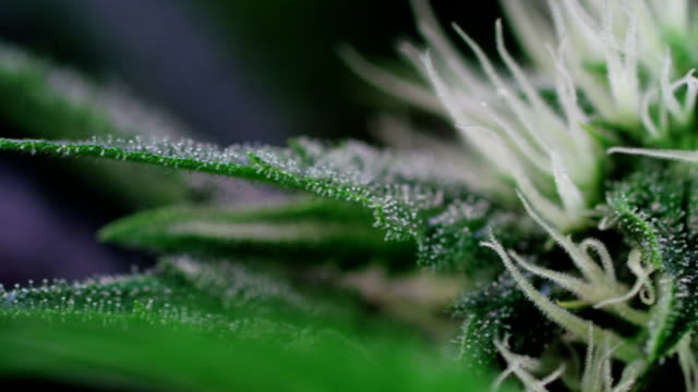 hemp growing indoors - botanik stock-videos und b-roll-filmmaterial