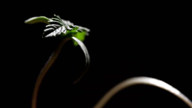 hemp - seedling stock videos & royalty-free footage
