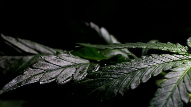 vídeos y material grabado en eventos de stock de el cáñamo - marihuana hierba de cannabis