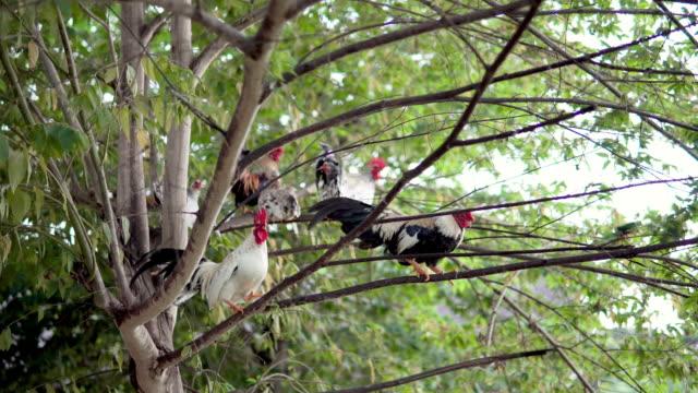 stockvideo's en b-roll-footage met kip en kip lopen op de boom. - hen