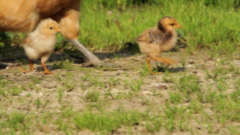 hen and chicks in a green yard - jungvogel stock-videos und b-roll-filmmaterial