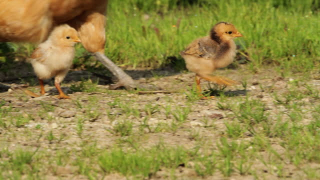 hen and chicks in a green yard - young bird stock videos & royalty-free footage