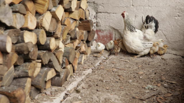 hen and her chickens - livestock stock videos & royalty-free footage