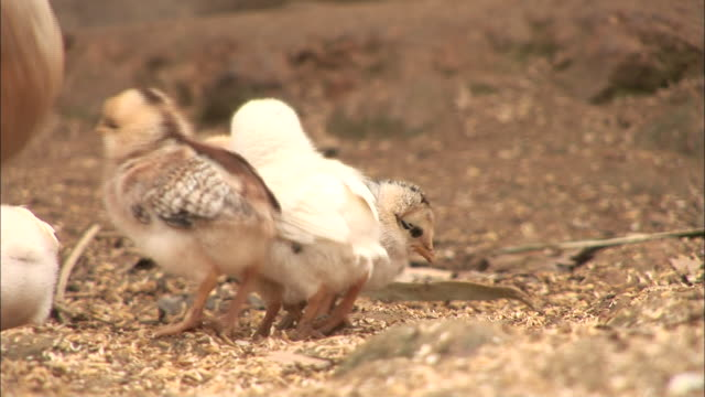a hen and her chicks peck on the ground in ethiopia. - feeding stock videos & royalty-free footage