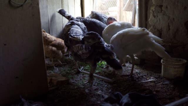 henne und pute essen maissamen im hinterhof. - organisch stock-videos und b-roll-filmmaterial