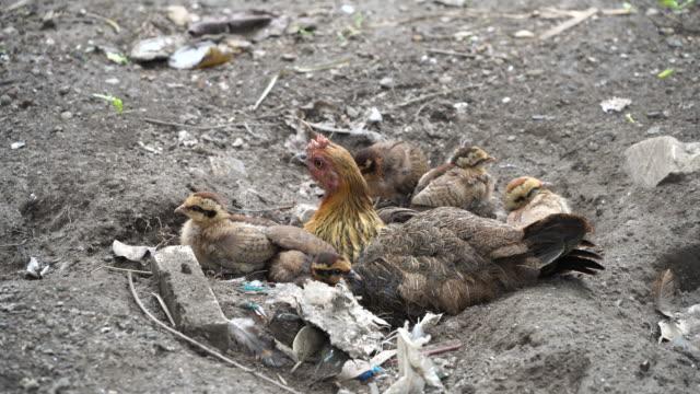 hen family