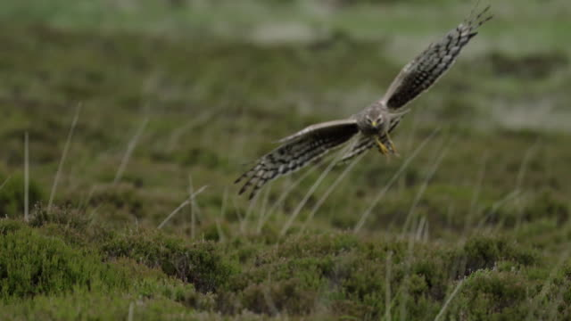 hen harrier catching prey, flying and chicks - bird of prey stock videos & royalty-free footage