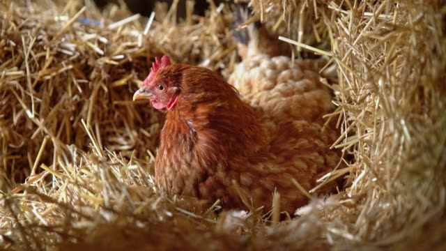 cu hen laying on eggs in hay - chicken coop stock videos and b-roll footage
