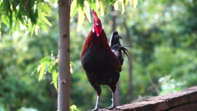 vídeos y material grabado en eventos de stock de gallina  - gallo
