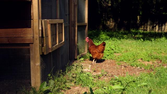 vídeos de stock e filmes b-roll de ms hen walking into chicken coop - galinha ave doméstica