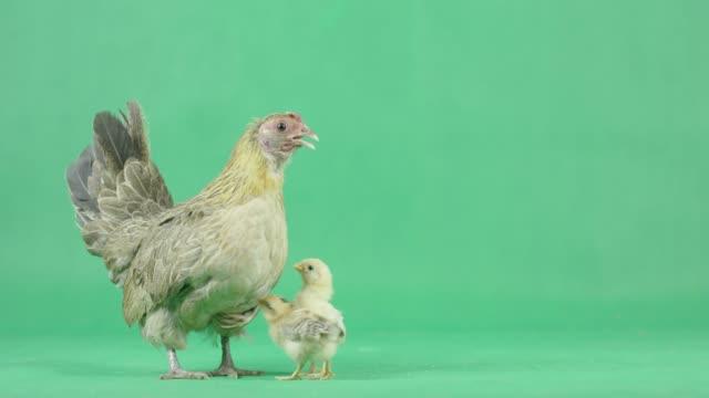 vídeos de stock e filmes b-roll de 4k hen with chicks on a green screen - galinha fêmea de animal