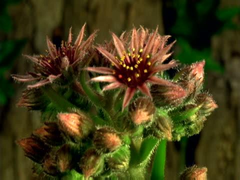 hen-and-chickens flowers opening - staubblatt stock-videos und b-roll-filmmaterial