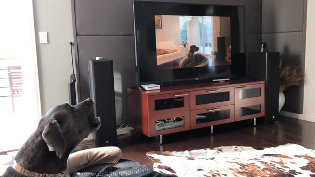 henry the great dane sees himself on the television and tries his very best to communicate with his former self. priceless! - former stock videos & royalty-free footage