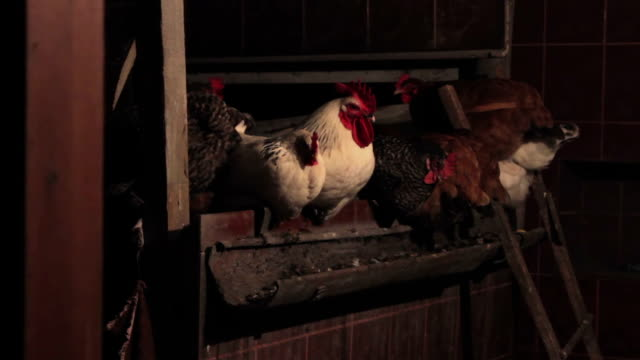 Hens and cockerel in a henhouse