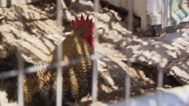 hens in pen - chicken coop stock videos & royalty-free footage