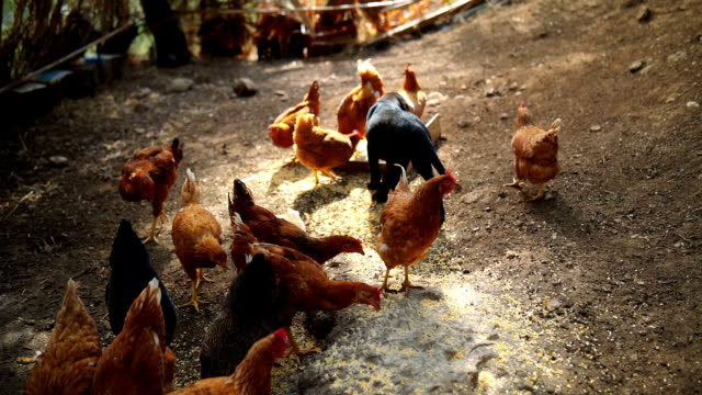 hens in the chicken coop - chicken coop stock videos & royalty-free footage