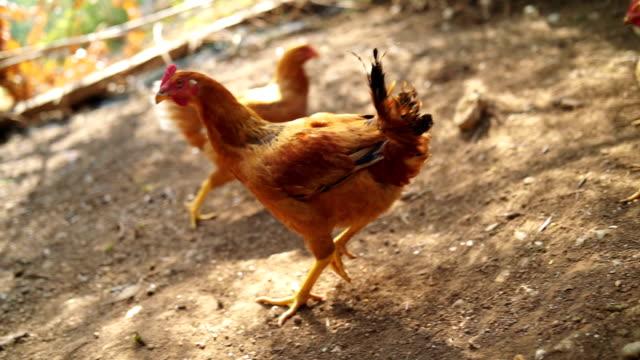 vídeos de stock e filmes b-roll de hens in the chicken coop - galinha fêmea de animal