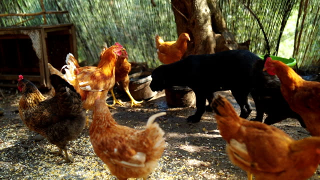 hens in the chicken coop - chicken bird stock videos & royalty-free footage