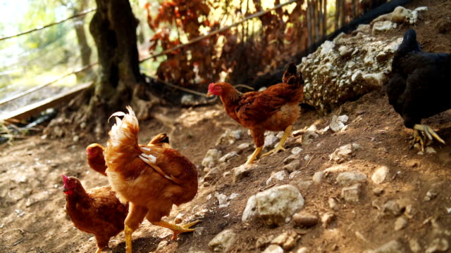 vídeos de stock e filmes b-roll de hens in the chicken coop - galinheiro