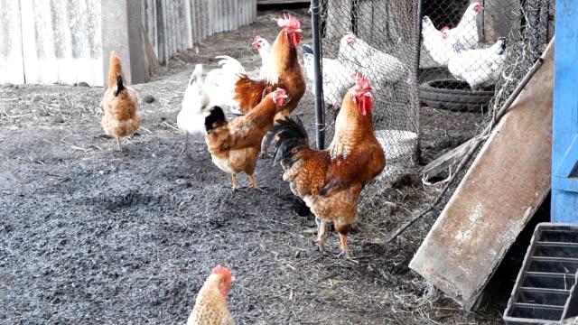 hens のヤードハウスの雌鳥 - 褒美点の映像素材/bロール