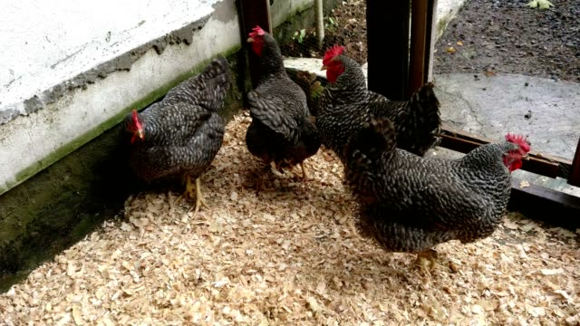 Hens In The Yard