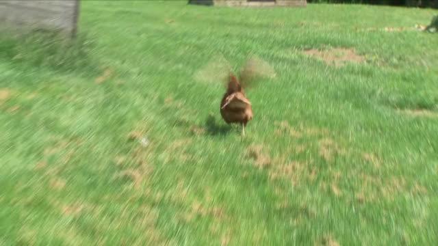 hens on farm - pferch stock-videos und b-roll-filmmaterial