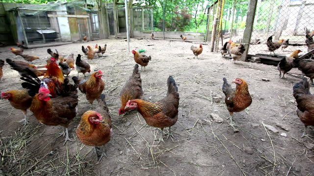 Hens searching for food in organic farm