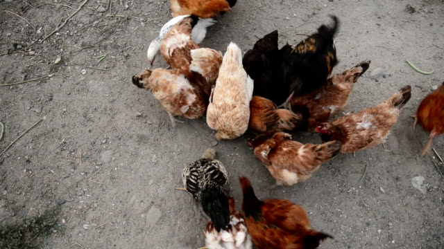 hens - ozgurdonmaz stock videos and b-roll footage