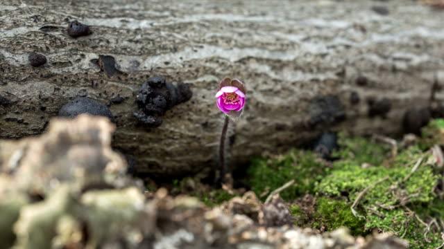hepatica asiatica nakai blooming - rock stock videos & royalty-free footage