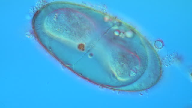 f. hepatica (liver fluke) egg measuring 140 by 80 micrometres. the ciliated larva prior to hatching is seen to be pushing hard in order to emerge through the operculum as a miracidium larva - liver stock videos and b-roll footage