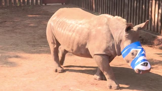 Her face is mutilated after poachers hacked off her horns but South African rhino Hope is undergoing pioneering medical treatment and one day might...