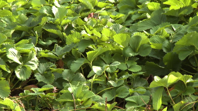 herb leaves in garden - herb garden stock videos & royalty-free footage
