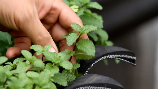 herbal mint. - mint leaf culinary stock videos and b-roll footage