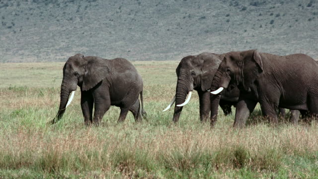 herbivores of ngorongoro crater, tanzania - männliches tier stock-videos und b-roll-filmmaterial