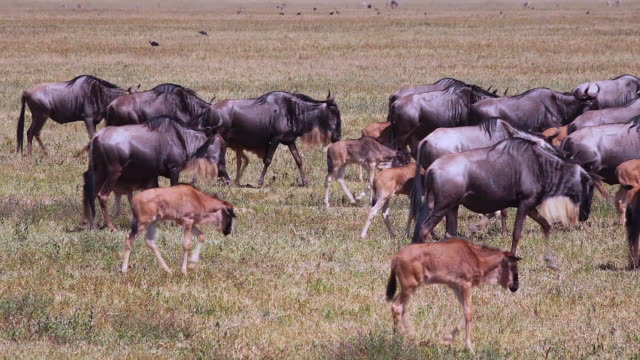 herbivores of ngorongoro crater, tanzania - wildebeest stock videos & royalty-free footage