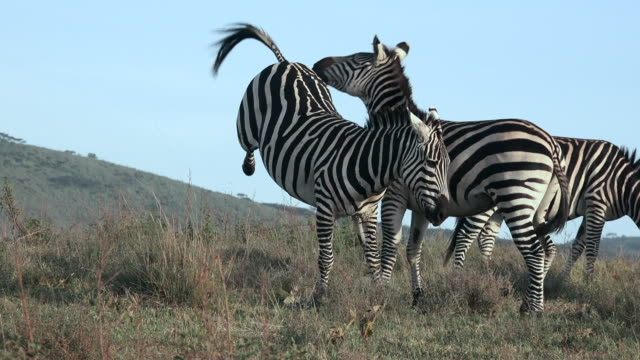 herbivores of ngorongoro crater, tanzania - zebra stock-videos und b-roll-filmmaterial